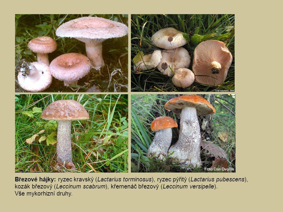 Březové porosty na rašelinné půdě: holubinka chromová (Russula claroflava), kozák bílý (Leccinum holopus), kozák barvoměnný (Leccinum variicolor).