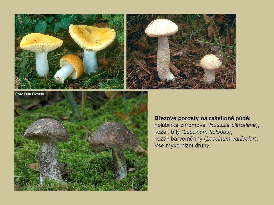 Březové porosty na rašelinné půdě: holubinka chromová (Russula claroflava), kozák bílý (Leccinum holopus), kozák barvoměnný (Leccinum variicolor). Vše