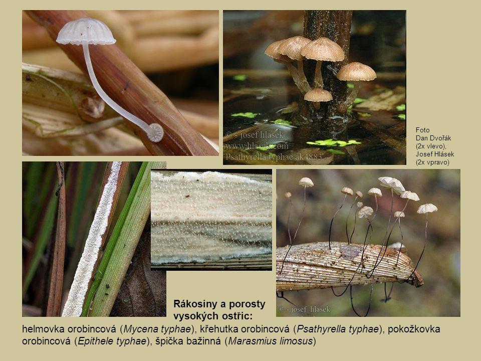 helmovka orobincová (Mycena typhae), křehutka orobincová (Psathyrella typhae), pokožkovka orobincová (Epithele typhae), špička bažinná (Marasmius limo