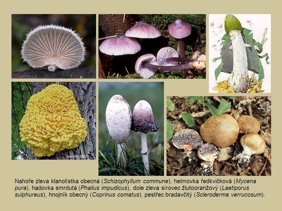 Nahoře zleva klanolístka obecná (Schizophyllum commune), helmovka ředkvičková (Mycena pura), hadovka smrdutá (Phallus impudicus), dole zleva sírovec ž