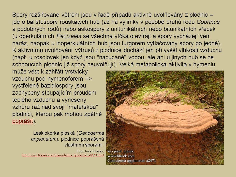 Lesklokorka ploská (Ganoderma applanatum), plodnice poprášená vlastními sporami. Foto Josef Hlásek, http://www.hlasek.com/ganoderma_lipsiense_a8473.ht