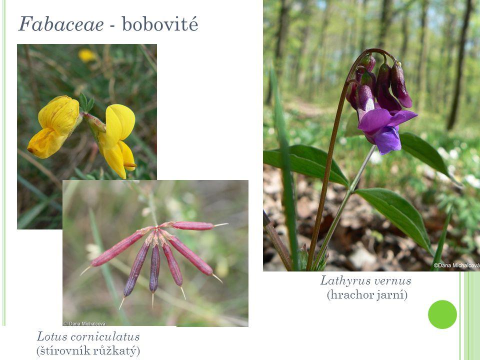 Fabaceae - bobovité Lotus corniculatus (štírovník růžkatý) Lathyrus vernus (hrachor jarní)