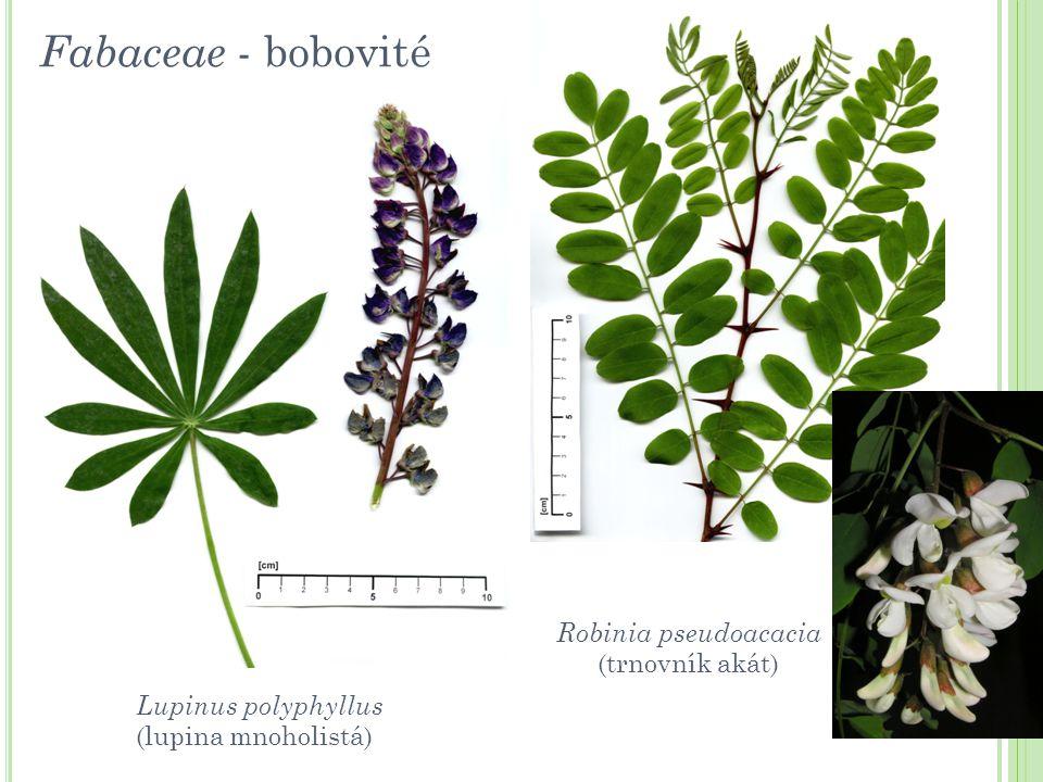 Lupinus polyphyllus (lupina mnoholistá) Robinia pseudoacacia (trnovník akát) Fabaceae - bobovité