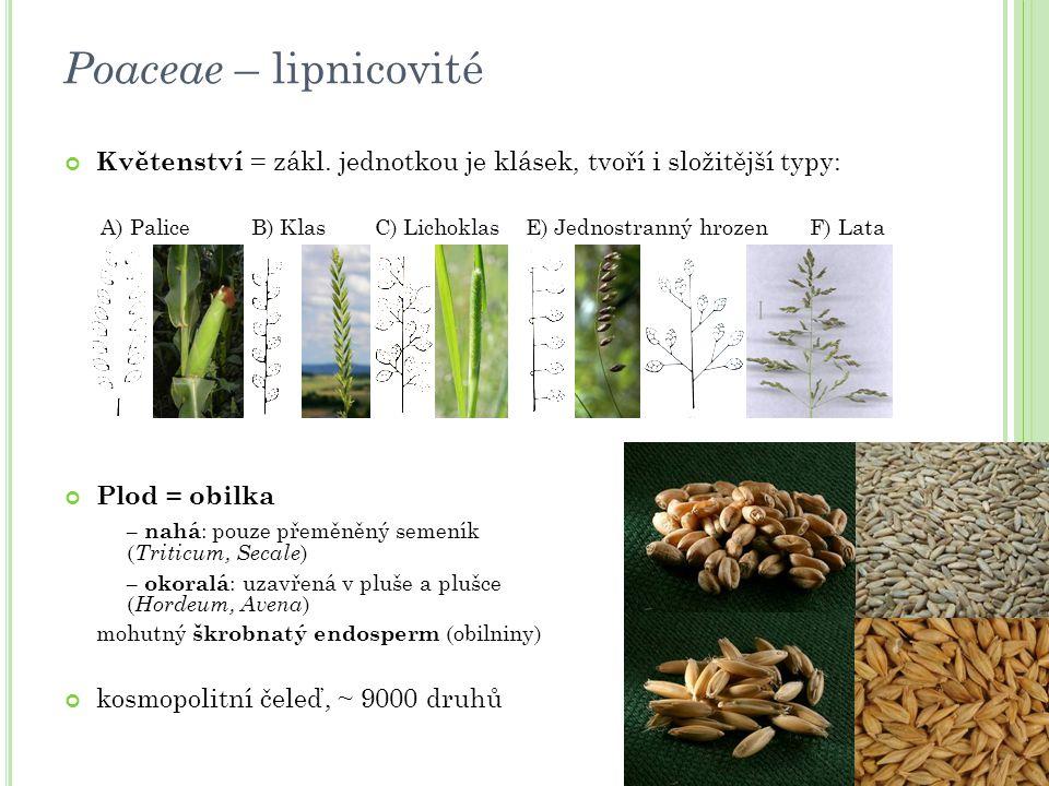Květenství = zákl. jednotkou je klásek, tvoří i složitější typy: A) Palice B) Klas C) Lichoklas E) Jednostranný hrozen F) Lata Plod = obilka – nahá :