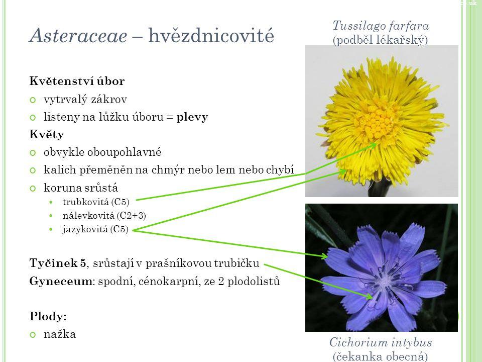 Květenství úbor vytrvalý zákrov listeny na lůžku úboru = plevy Květy obvykle oboupohlavné kalich přeměněn na chmýr nebo lem nebo chybí koruna srůstá t