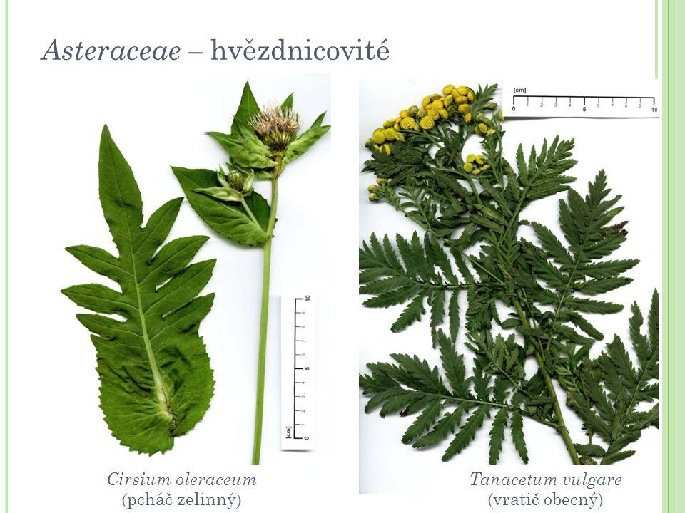 Asteraceae – hvězdnicovité Tanacetum vulgare (vratič obecný) Cirsium oleraceum (pcháč zelinný)