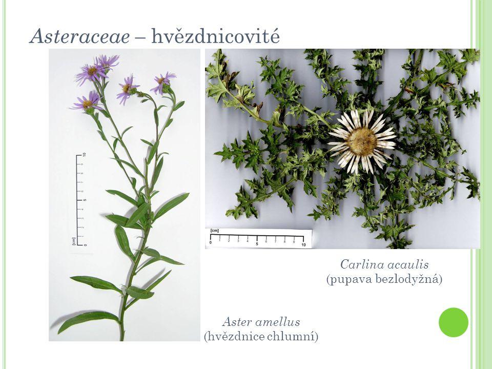 Asteraceae – hvězdnicovité Carlina acaulis (pupava bezlodyžná) Aster amellus (hvězdnice chlumní)