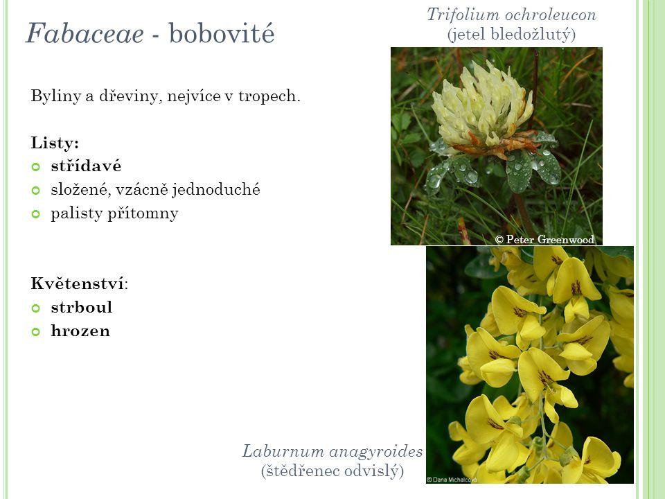 Fabaceae - bobovité Byliny a dřeviny, nejvíce v tropech. Listy: střídavé složené, vzácně jednoduché palisty přítomny Květenství : strboul hrozen Trifo