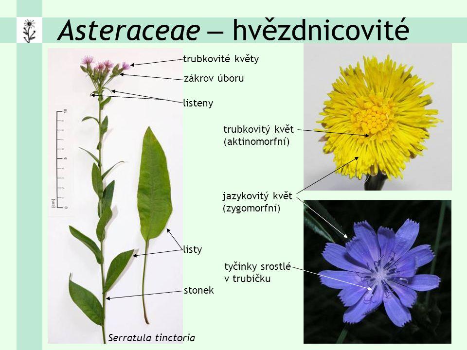 Asteraceae – hvězdnicovité trubkovité květy zákrov úboru Serratula tinctoria listy listeny trubkovitý květ (aktinomorfní) jazykovitý květ (zygomorfní) tyčinky srostlé v trubičku stonek