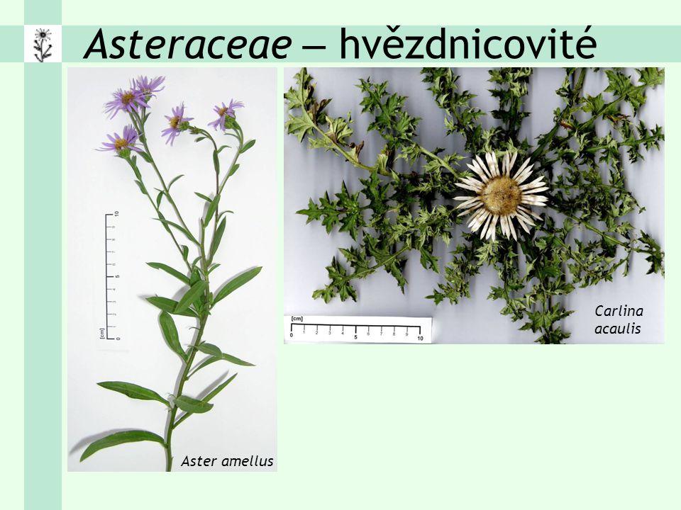 Asteraceae – hvězdnicovité Aster amellus Carlina acaulis