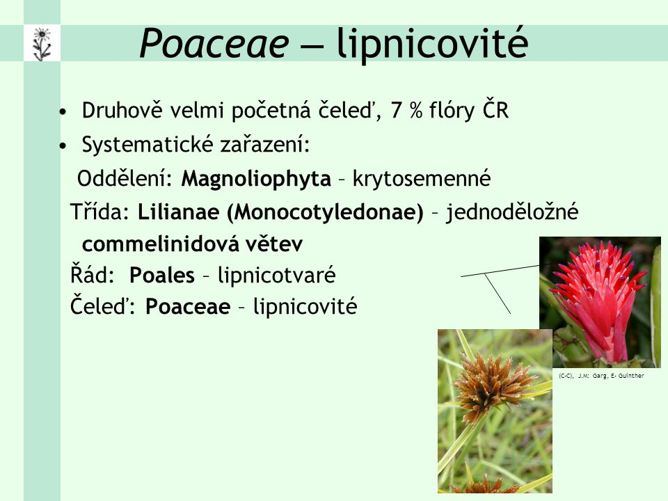 Poaceae – lipnicovité Morfologické znaky: – převážně byliny (jednoleté i vytrvalé), vzácně dřeviny nebo dřevnatějící byliny (Bambus) – C 3 metabolismus, tropické i C 4 (Zea mays, Panicum) – Stonek: stéblo: výrazné nody (= kolénka), dlouhá dutá internodia na průřezu obvykle oblé, větvené zřídka – Listy střídavé, dvouřadé, souběžná žilnatina, řapík chybí pochva (srostlá nebo otevřená), čepel: čárkovitá na rozhraní blanitý jazýček (nebo věnec chloupků), případně ouška – vytrvalé druhy odnožují výběžky (podzemní, nadzemní), adventivní kořeny
