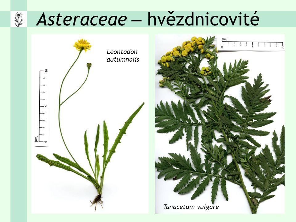 Asteraceae – hvězdnicovité Leontodon autumnalis Tanacetum vulgare
