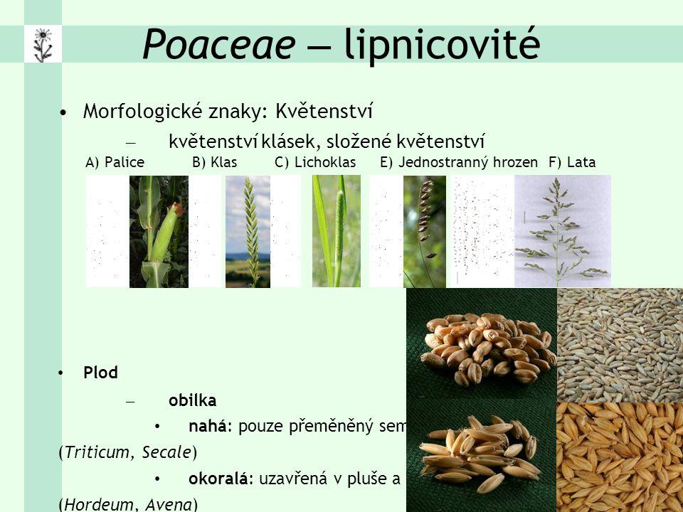 Poaceae – lipnicovité Morfologické znaky: Květenství – květenství klásek, složené květenství A) Palice B) Klas C) Lichoklas E) Jednostranný hrozen F) Lata Plod – obilka nahá: pouze přeměněný semeník (Triticum, Secale) okoralá: uzavřená v pluše a plušce (Hordeum, Avena) – mohutný škrobnatý endosperm (obilniny) – kosmopolitní čeleď, ~ 9000 druhů