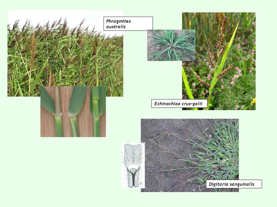 Phragmites australis Echinochloa crus-galii Digitaria sanguinalis