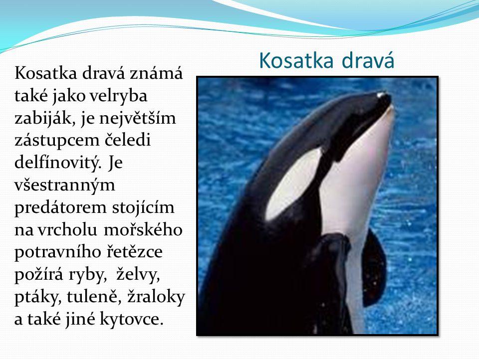 Kosatka dravá Kosatka dravá známá také jako velryba zabiják, je největším zástupcem čeledi delfínovitý. Je všestranným predátorem stojícím na vrcholu