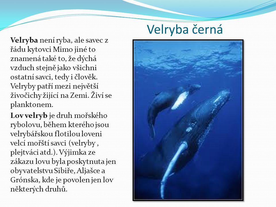 Velryba černá Velryba není ryba, ale savec z řádu kytovci Mimo jiné to znamená také to, že dýchá vzduch stejně jako všichni ostatní savci, tedy i člov