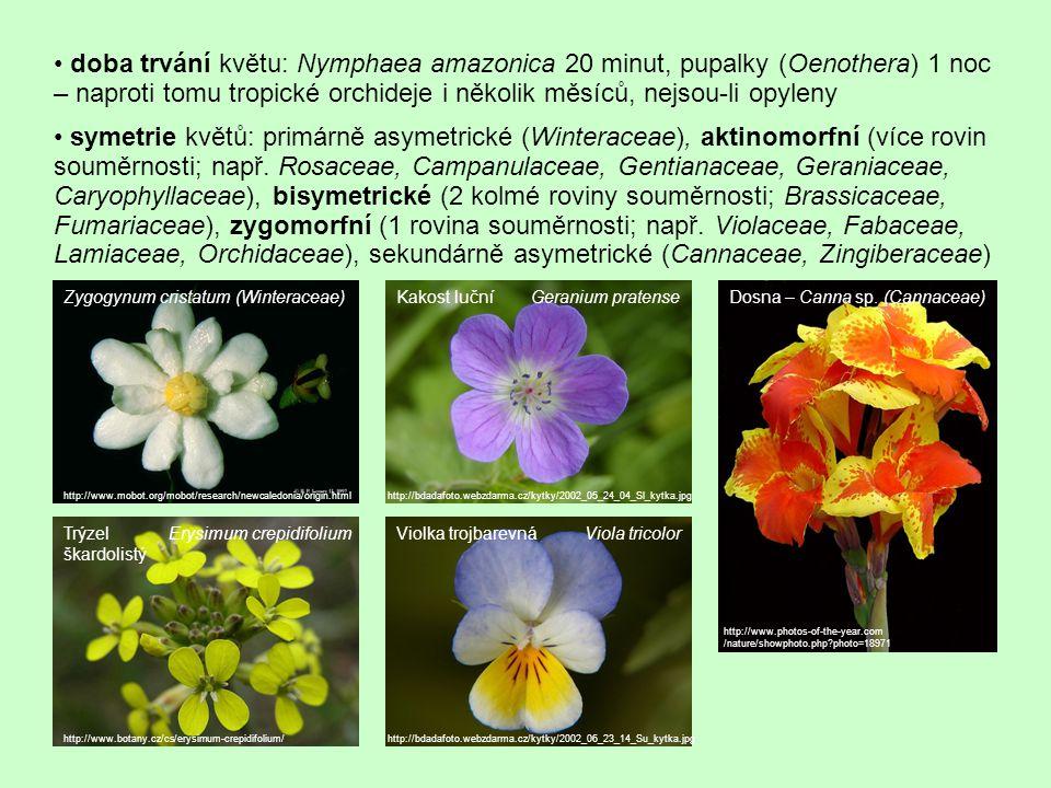 Fylogeneze květu euanthiová teorie: vývoj z anthostrobilu hypotetického předka krytosemenných rostlin – šištice, na níž byly ve šroubovici vyvinuty asimilační listy (jejich přeměnou pak vznikly květní obaly), mikrosporofyly (=> tyčinky) a megasporofyly (=> pestíky) – podle této teorie jsou původní oboupohlavné květy s větším počtem květ.