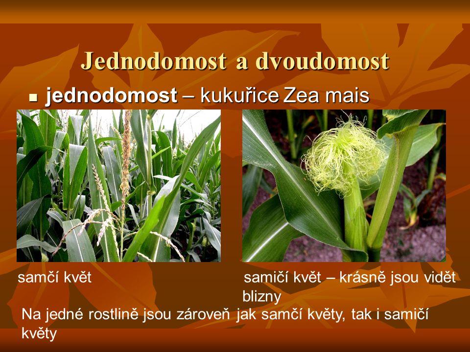 Jednodomost a dvoudomost jednodomost – kukuřice Zea mais jednodomost – kukuřice Zea mais Na jedné rostlině jsou zároveň jak samčí květy, tak i samičí květy samčí květ samičí květ – krásně jsou vidět blizny
