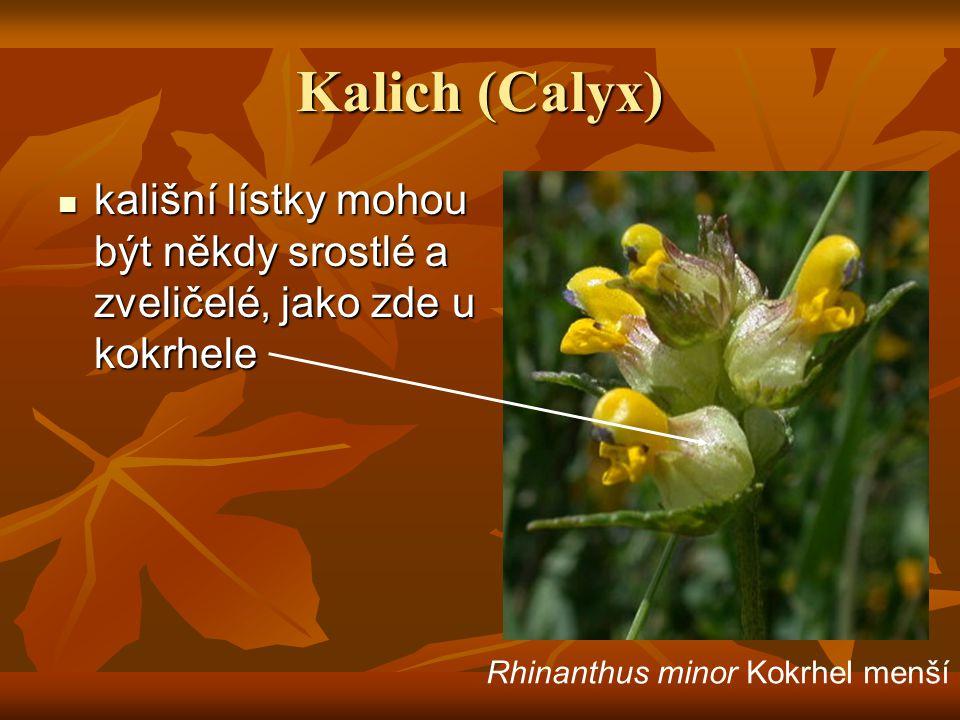 Kalich (Calyx) kališní lístky mohou být někdy srostlé a zveličelé, jako zde u kokrhele kališní lístky mohou být někdy srostlé a zveličelé, jako zde u kokrhele Rhinanthus minor Kokrhel menší