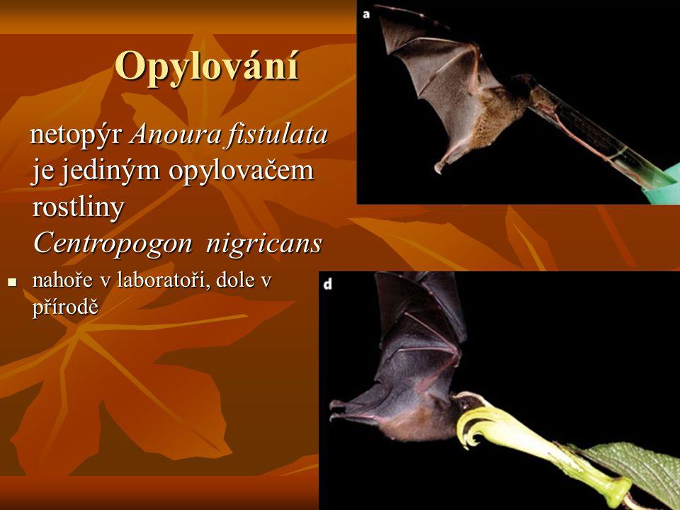 Opylování netopýr Anoura fistulata je jediným opylovačem rostliny Centropogon nigricans netopýr Anoura fistulata je jediným opylovačem rostliny Centropogon nigricans nahoře v laboratoři, dole v přírodě nahoře v laboratoři, dole v přírodě