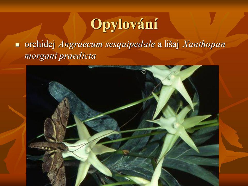 Opylování orchidej Angraecum sesquipedale a lišaj Xanthopan morgani praedicta orchidej Angraecum sesquipedale a lišaj Xanthopan morgani praedicta