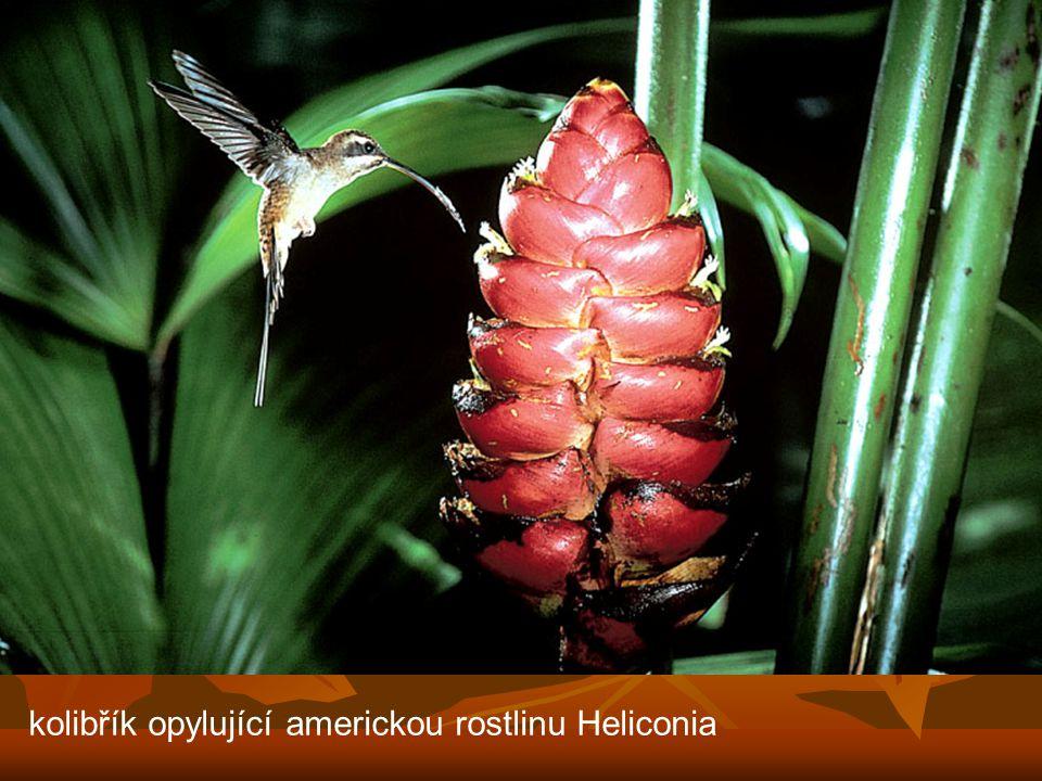 kolibřík opylující americkou rostlinu Heliconia