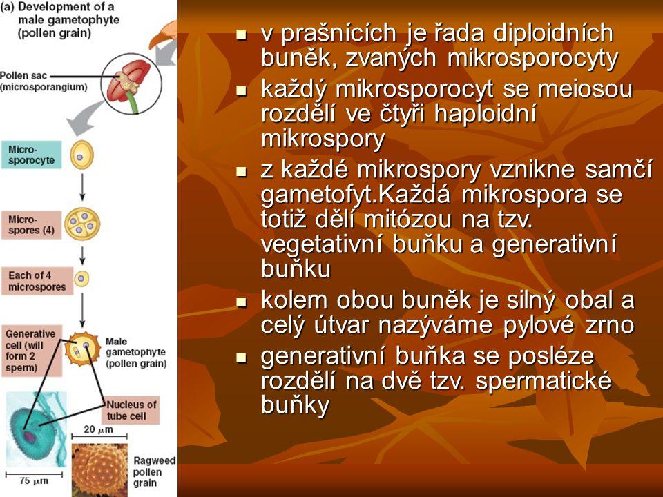 v prašnících je řada diploidních buněk, zvaných mikrosporocyty v prašnících je řada diploidních buněk, zvaných mikrosporocyty každý mikrosporocyt se meiosou rozdělí ve čtyři haploidní mikrospory každý mikrosporocyt se meiosou rozdělí ve čtyři haploidní mikrospory z každé mikrospory vznikne samčí gametofyt.Každá mikrospora se totiž dělí mitózou na tzv.