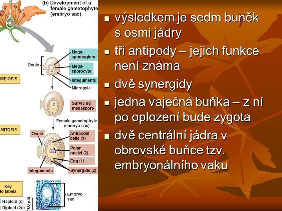 výsledkem je sedm buněk s osmi jádry výsledkem je sedm buněk s osmi jádry tři antipody – jejich funkce není známa tři antipody – jejich funkce není známa dvě synergidy dvě synergidy jedna vaječná buňka – z ní po oplození bude zygota jedna vaječná buňka – z ní po oplození bude zygota dvě centrální jádra v obrovské buňce tzv.