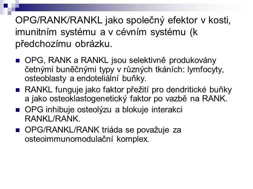 OPG/RANK/RANKL jako společný efektor v kosti, imunitním systému a v cévním systému (k předchozímu obrázku. OPG, RANK a RANKL jsou selektivně produková