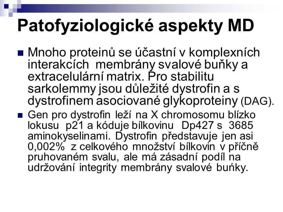 Patofyziologické aspekty MD Mnoho proteinů se účastní v komplexních interakcích membrány svalové buňky a extracelulární matrix. Pro stabilitu sarkolem