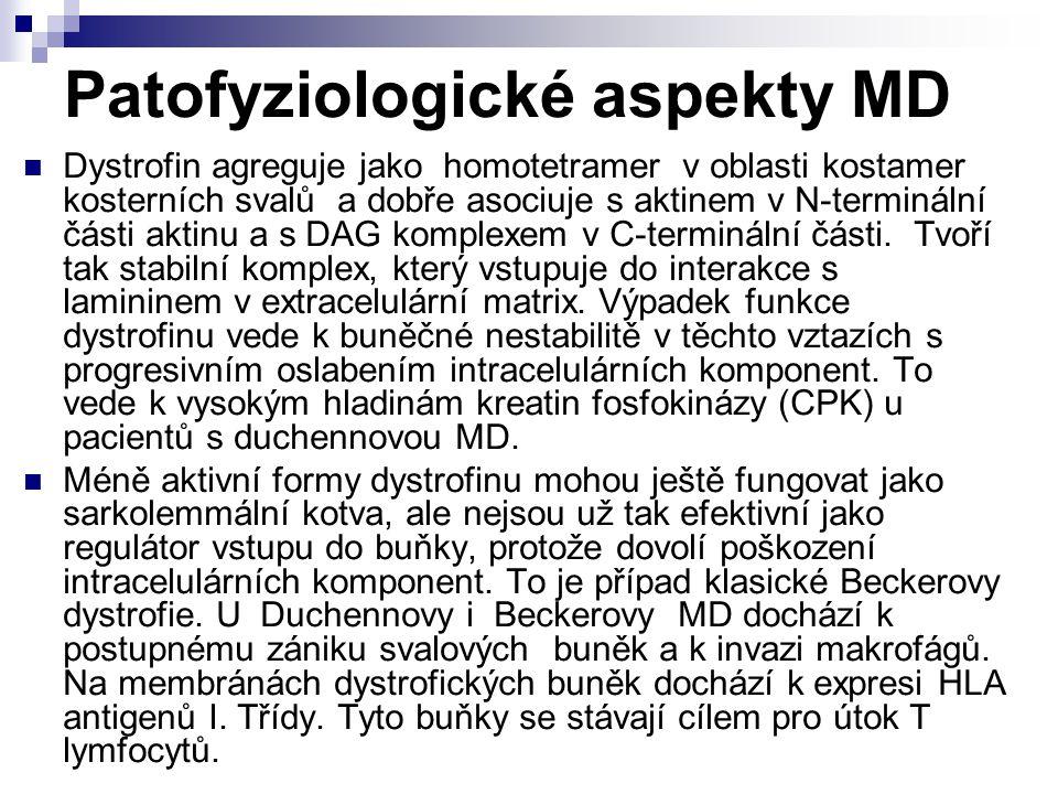 Patofyziologické aspekty MD Dystrofin agreguje jako homotetramer v oblasti kostamer kosterních svalů a dobře asociuje s aktinem v N-terminální části a