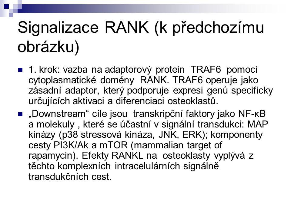Signalizace RANK (k předchozímu obrázku) 1. krok: vazba na adaptorový protein TRAF6 pomocí cytoplasmatické domény RANK. TRAF6 operuje jako zásadní ada