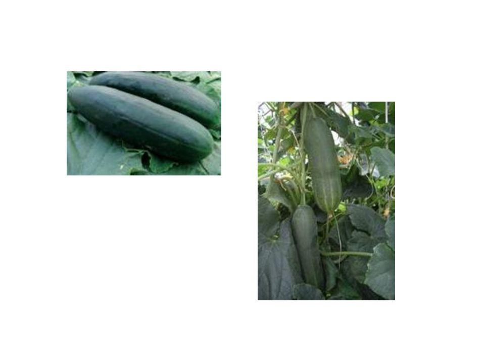 a) okurky hadovky  hladká a jako odrůda patří k raným plodinám  vyséváme od půlky dubna do poloviny května  předpěstujeme asi 3 - 4 týdny před výsadbou  pěstujeme ve skleníku, nebo fóliovníku