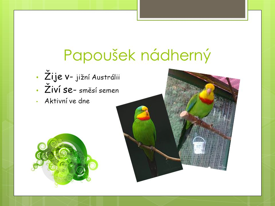 Papoušek nádherný Žije v- jižní Austrálii Živí se- směsí semen Aktivní ve dne
