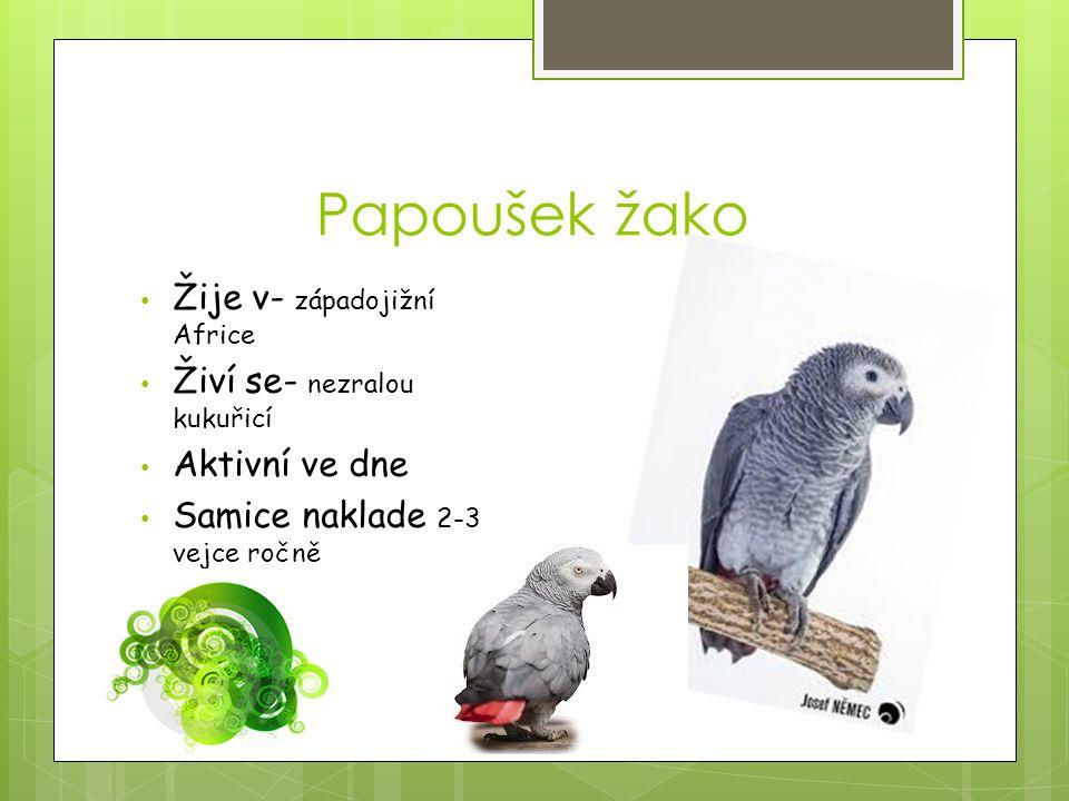 Papoušek žako Žije v- západojižní Africe Živí se- nezralou kukuřicí Aktivní ve dne Samice naklade 2-3 vejce ročně