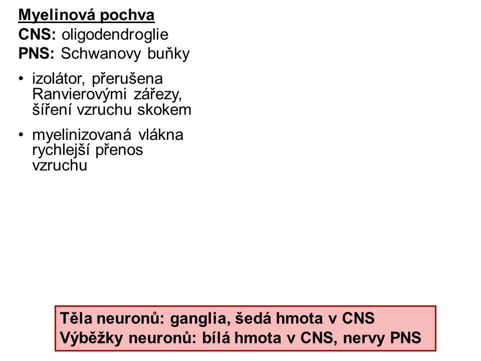 Myelinová pochva CNS: oligodendroglie PNS: Schwanovy buňky izolátor, přerušena Ranvierovými zářezy, šíření vzruchu skokem myelinizovaná vlákna rychlej