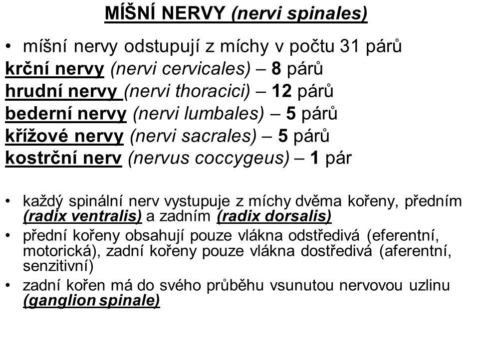 MÍŠNÍ NERVY (nervi spinales) míšní nervy odstupují z míchy v počtu 31 párů krční nervy (nervi cervicales) – 8 párů hrudní nervy (nervi thoracici) – 12