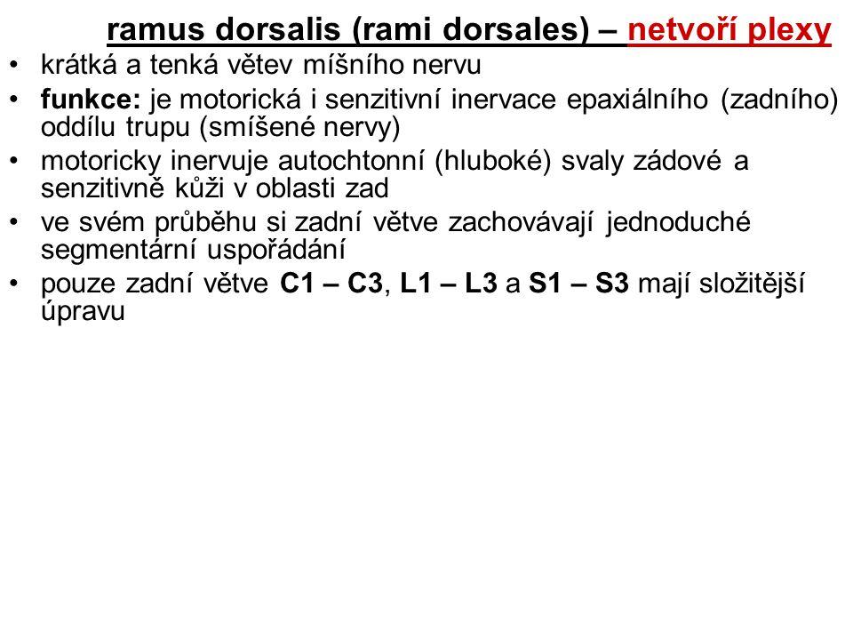 ramus dorsalis (rami dorsales) – netvoří plexy krátká a tenká větev míšního nervu funkce: je motorická i senzitivní inervace epaxiálního (zadního) odd