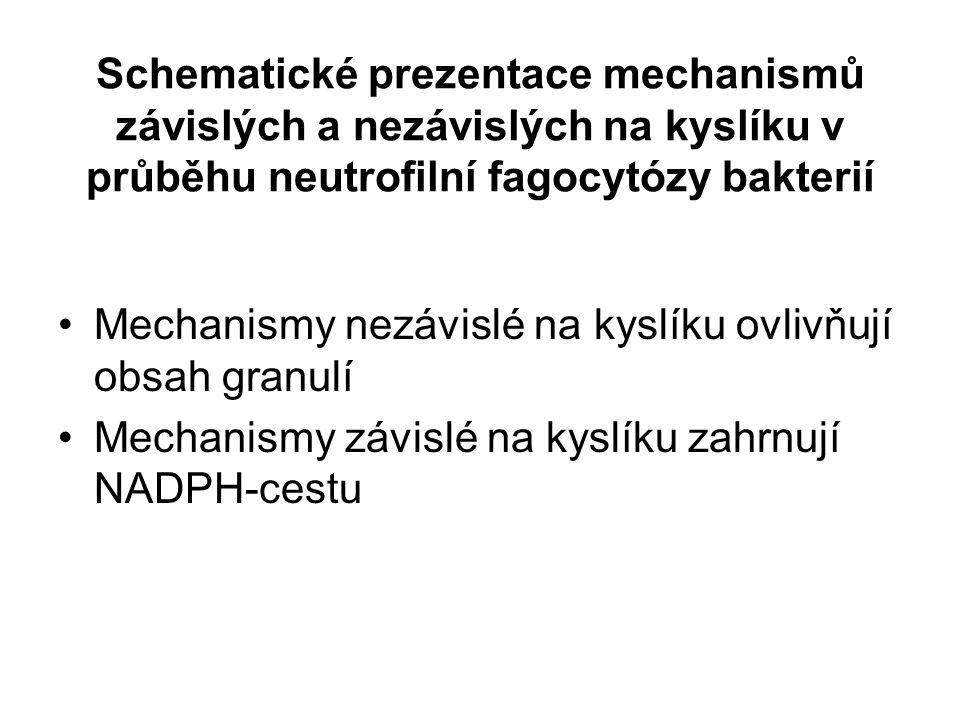 Schematické prezentace mechanismů závislých a nezávislých na kyslíku v průběhu neutrofilní fagocytózy bakterií Mechanismy nezávislé na kyslíku ovlivňují obsah granulí Mechanismy závislé na kyslíku zahrnují NADPH-cestu