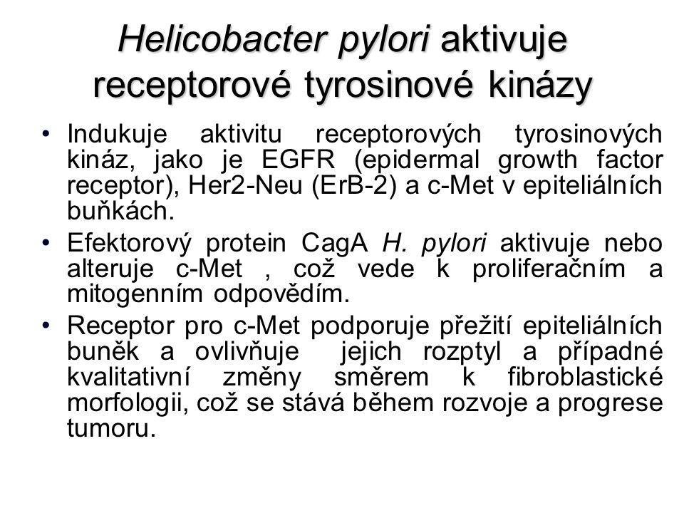 Helicobacter pylori aktivuje receptorové tyrosinové kinázy Indukuje aktivitu receptorových tyrosinových kináz, jako je EGFR (epidermal growth factor receptor), Her2-Neu (ErB-2) a c-Met v epiteliálních buňkách.