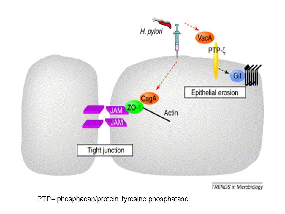 PTP= phosphacan/protein tyrosine phosphatase