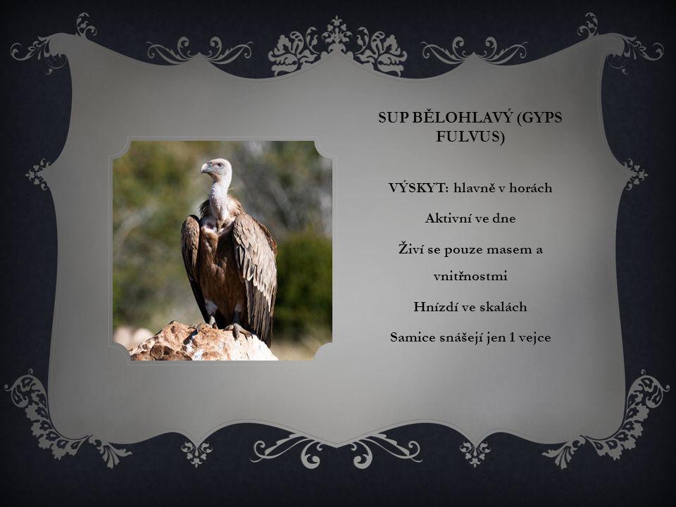 SUP BĚLOHLAVÝ (GYPS FULVUS) VÝSKYT: hlavně v horách Aktivní ve dne Živí se pouze masem a vnitřnostmi Hnízdí ve skalách Samice snášejí jen 1 vejce