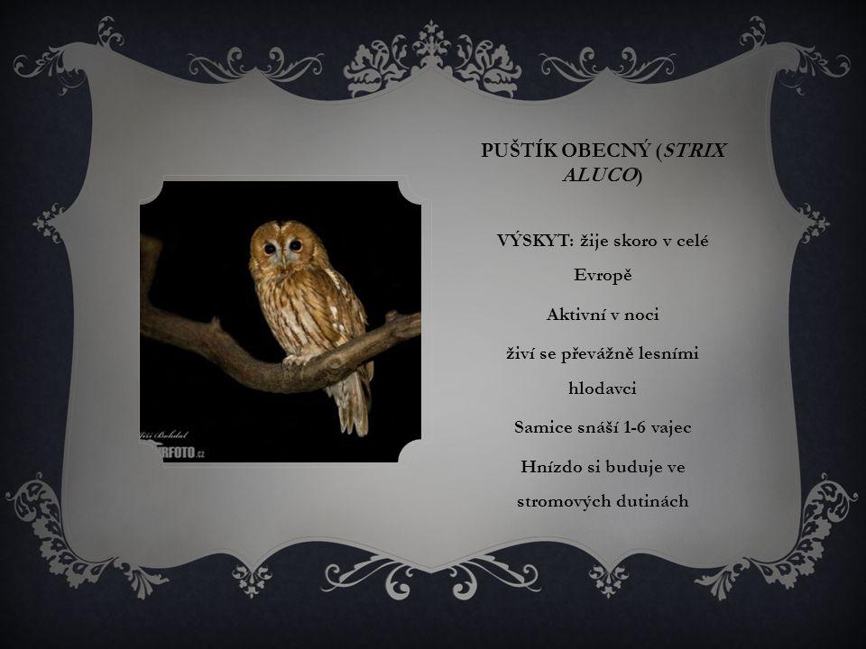PUŠTÍK OBECNÝ (STRIX ALUCO) VÝSKYT: žije skoro v celé Evropě Aktivní v noci živí se převážně lesními hlodavci Samice snáší 1-6 vajec Hnízdo si buduje ve stromových dutinách