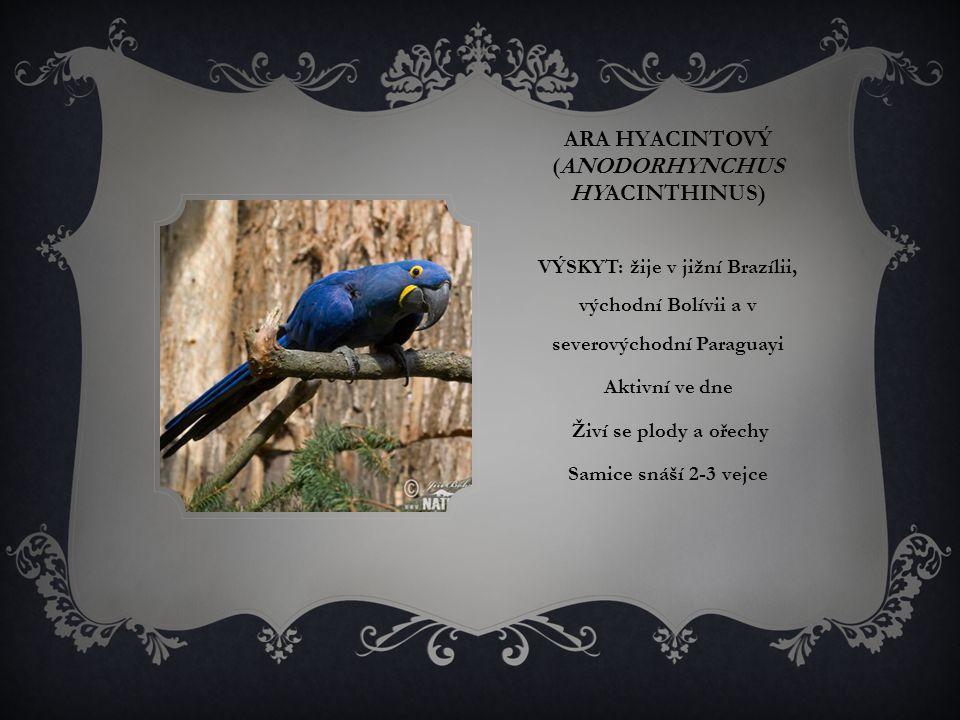 ARA HYACINTOVÝ (ANODORHYNCHUS HYACINTHINUS) VÝSKYT: žije v jižní Brazílii, východní Bolívii a v severovýchodní Paraguayi Aktivní ve dne Živí se plody a ořechy Samice snáší 2-3 vejce
