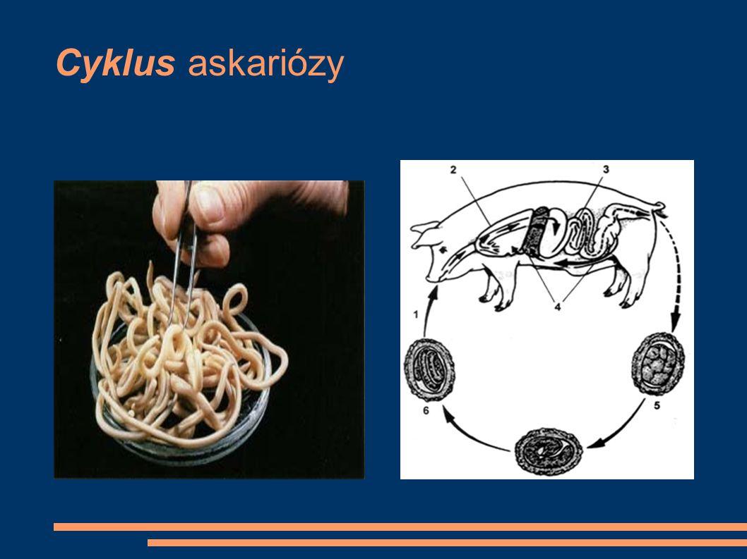 Cyklus askariózy