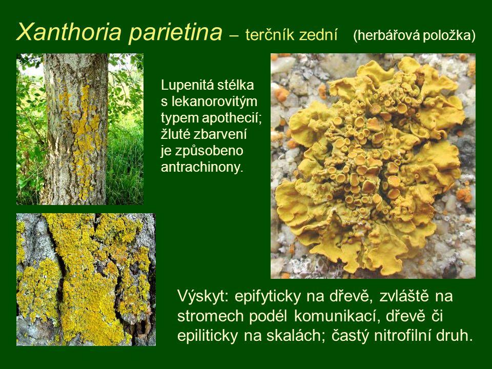 Xanthoria parietina – terčník zední (herbářová položka) Výskyt: epifyticky na dřevě, zvláště na stromech podél komunikací, dřevě či epiliticky na skalách; častý nitrofilní druh.