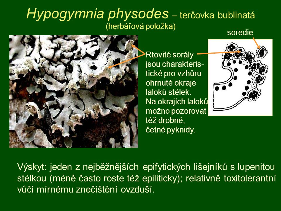 Hypogymnia physodes – terčovka bublinatá (herbářová položka) Rtovité sorály jsou charakteris- tické pro vzhůru ohrnuté okraje laloků stélek. Na okrají