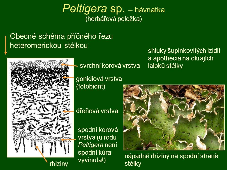 svrchní korová vrstva gonidiová vrstva (fotobiont) dřeňová vrstva spodní korová vrstva (u rodu Peltigera není spodní kůra vyvinuta!) rhiziny Obecné sc