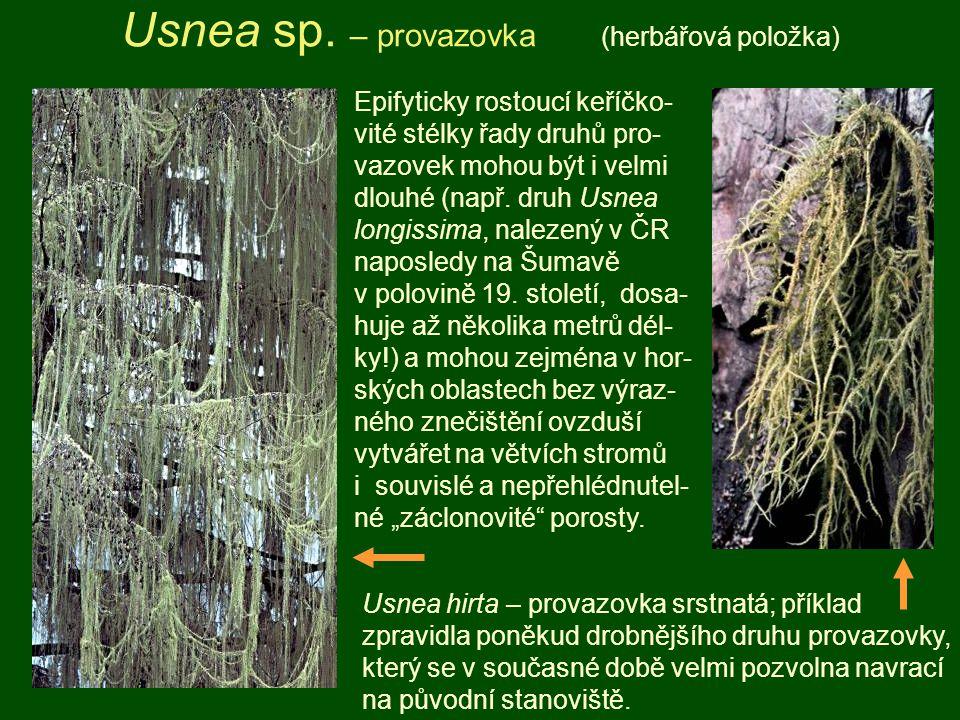 Usnea sp. – provazovka (herbářová položka) Usnea hirta – provazovka srstnatá; příklad zpravidla poněkud drobnějšího druhu provazovky, který se v souča