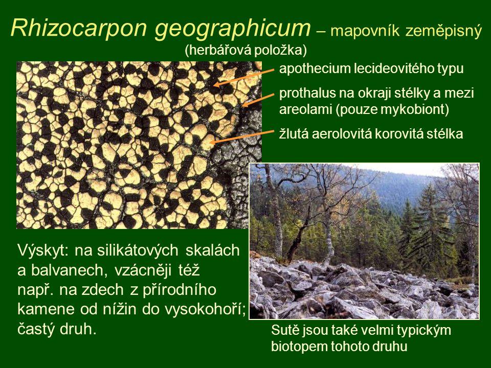 Rhizocarpon geographicum – mapovník zeměpisný (herbářová položka) apothecium lecideovitého typu prothalus na okraji stélky a mezi areolami (pouze mykobiont) žlutá aerolovitá korovitá stélka Výskyt: na silikátových skalách a balvanech, vzácněji též např.